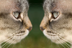 Cat face to face Royalty Free Stock Image