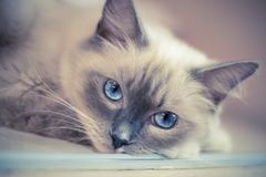 Cat, Face, Whiskers, Skin Royalty Free Stock Photo