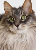 Cat Face Wit Yellow background. Portrait of long haired gray cat showing eyes and face Stock Image