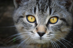 Cat face with yellow eyes Stock Images