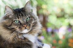 Cat Facing Camera Royalty Free Stock Photo