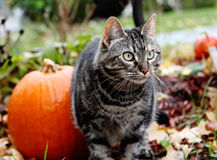 Cat in the Fall. A silver and black tabby in a yard during the fall Stock Images
