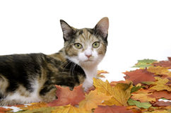 Cat and fall leaves Stock Image
