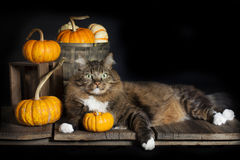 Cat with Fall Pumpkins. A brown tabby cat with green eyes and four white paws laying on old board surface surrounded with decorative fall pumpkins and gourds Royalty Free Stock Photography