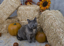Cat in fall setting. Cat sitting in front of bales of hay surrounded by pumpkins and fall flowers Stock Photography