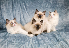 Cat family Stock Photography