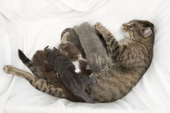 Cat family. A heap of cat is cuddly babies on their mother Stock Images