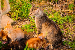 Cat Family With Mother Cat And Kittens Stock Photography