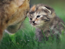 Cat family. Mother and her kid, learning first steeps in the garden Royalty Free Stock Photos