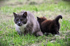 Cat family walking together on grass Royalty Free Stock Images