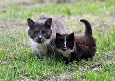 Cat family walking together on grass Royalty Free Stock Photos
