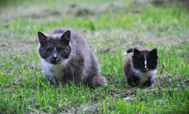 Cat family walking together on grass Stock Photography