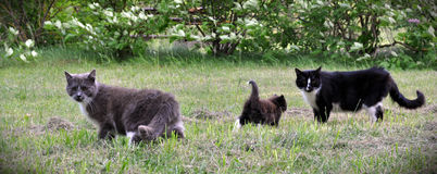 Cat family walking together on grass Stock Images