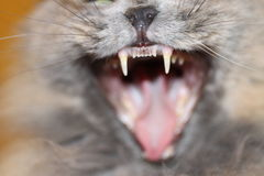 Cat Fangs. Macro of an open mouth cat Stock Images