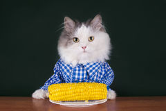 Cat farmer dines corn Royalty Free Stock Photos