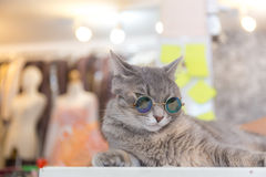Cat fashion with sun glasses Stock Image