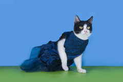 Cat in fashionable dress on a blue background isolated Royalty Free Stock Photo