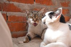 Cat father and mother cat, street cats, angry, scary. Cat father and mother cat with kitten, street cats, selective focus royalty free stock photo