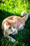 Cat, Fauna, Small To Medium Sized Cats, Grass