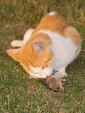 Cat feasting on a mouse. Cat eating a mouse in grass Stock Photography