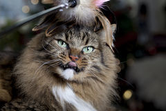 Cat with Feathered Toy. A brown Tabby with feathered toy on head and funny facial expression Royalty Free Stock Photography
