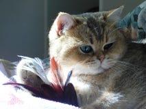 Cat Feathers no sol da manh? foto de stock royalty free