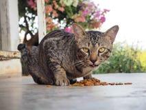 Cat feed Royalty Free Stock Photos