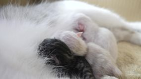 Cat feeding cute little kittens at home. lifestyle small newborn the kittens. Lovely kittens sleeping together in stock video