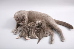 Cat feeding her babies Royalty Free Stock Photos