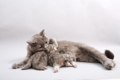 Cat feeding her babies Stock Image