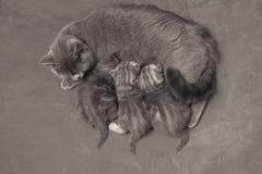 Cat feeding her babies Stock Image