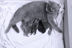 Cat feeding her babies. British short hair cat with her kittens, newly born babies stock photos