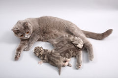 Cat feeding her babies royalty free stock images