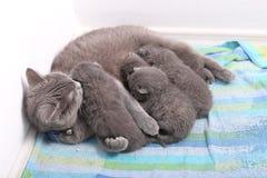 Cat feeding her babies. British Shorthair cat breastfeeding her kittens, newly born babies royalty free stock image