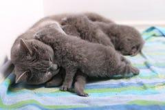 Cat feeding her babies. British Shorthair cat breastfeeding her kittens, newly born babies royalty free stock photos