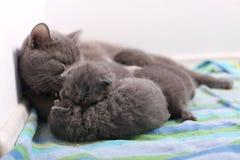Cat feeding her babies. British Shorthair cat breastfeeding her kittens, newly born babies stock images