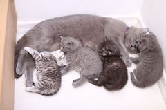 Cat feeding her babies. British shorthair mom cat with her kittens, newly born babies looking at the camera, cute face royalty free stock photography