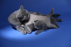 Cat feeding her new born kittens, blue background. British Shorthair mom cat feeds her kittens on blue background stock photos