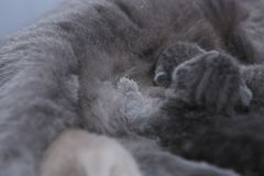 Cat feeding her new borns, first day of life. British Shorthair mom cat feeds her kitten, close-up view stock images