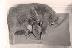 Cat feeding her new borns, first day of life. British Shorthair mom cat feeds her kittens stock photography