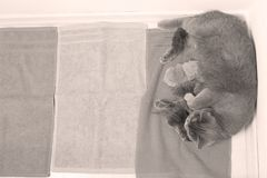 Cat feeding her new borns, first day of life. British Shorthair mom cat feeds her kittens on blue towel stock image