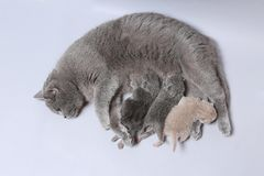 Cat feeding her new borns, first day of life. British Shorthair mom cat feeds her kittens on white background stock image