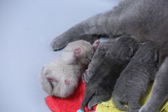 Cat feeding her new borns, first day of life. British Shorthair mom cat feeds her kittens on colored towels stock image
