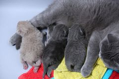 Cat feeding her new borns, first day of life. British Shorthair mom cat feeds her kittens on colored towels stock photo