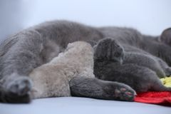 Cat feeding her new borns, first day of life. British Shorthair mom cat feeds her kittens on colored towels stock photography