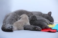 Cat feeding her new borns, first day of life. British Shorthair mom cat feeds her kittens on colored towels royalty free stock images