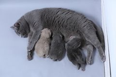 Cat feeding her new borns, first day of life. British Shorthair mom cat feeds her kittens on gray background royalty free stock images