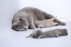 Cat feeding her new borns, first day of life. British Shorthair mom cat feeds her kittens on white background stock images