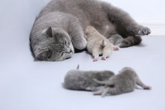 Cat feeding her new borns, first day of life. British Shorthair mom cat feeds her kittens on white background stock photo