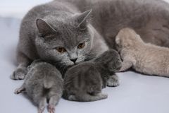 Cat feeding her new borns, first day of life. British Shorthair mom cat feeds her kittens on white background stock photos
